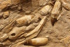 Kolonie van fossielen stock fotografie