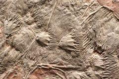 Kolonie van fossielen royalty-vrije stock afbeelding