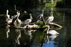 Kolonie van Gray Pelicans stock foto