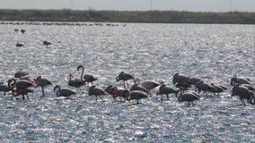 Kolonie van Grotere Flamingo's stock videobeelden
