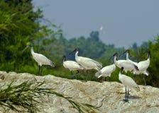 Kolonie van ibis royalty-vrije stock fotografie