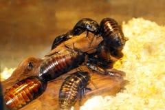 Kolonie van kakkerlakken, close-up in de habitat stock foto