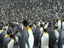 Kolonie van koningenpinguïnen stock foto