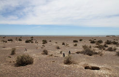 Kolonie van Magellanic-pinguïnen op de kust van Patagonië. Stock Foto