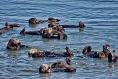 Kolonie van overzeese otters in Elkhorn Sleugh in Monterey, CA royalty-vrije stock fotografie