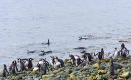 Kolonie van Pinguïnen royalty-vrije stock fotografie