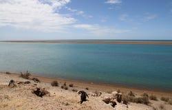 Kolonie van pinguïnen Magellanic op de Patagonian kust. Stock Foto's