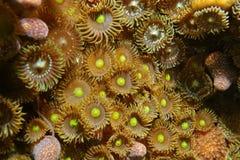 Kolonie van pulchellus van mat zoanthids Zoanthus Royalty-vrije Stock Foto
