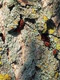Kolonie van Rode Insecten Stock Afbeelding