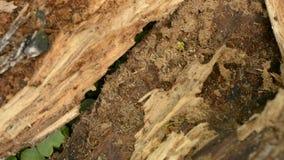 Kolonie van rode mieren op het werk stock videobeelden