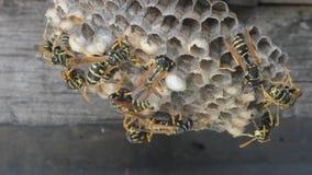 Kolonie van wespen op een nest stock footage