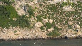 Kolonie van zeemeeuwen op rotsen, klippen stock video
