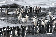 Kolonie von Adelie-Pinguinen Lizenzfreie Stockfotos