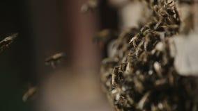 Kolonie von Bienen stock video