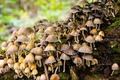 Kolonie von Coprinus micaceus lizenzfreie stockfotos