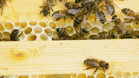 Kolonie von den Bienen, die in einem Bienenstock arbeiten stock footage