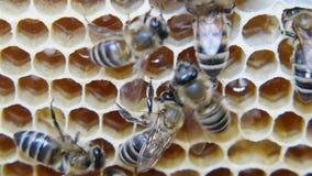 Kolonie von den Bienen, die in einem Bienenstock arbeiten stock video footage