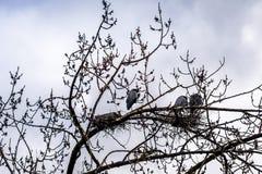 Kolonie von den Graureihern, die nahe Chilliwack auf schöne Briten C sitzen stockbild