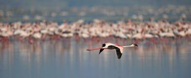 Kolonie von Flamingos auf dem Natron See Lesser Flamingo Scientific-Name: Phoenicoparrus-Minderjähriger Tansania Afrika lizenzfreie stockfotos
