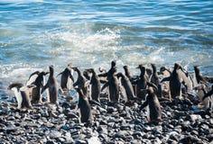 Kolonie von Gentoo Pinguinen auf dem Strand Lizenzfreies Stockbild