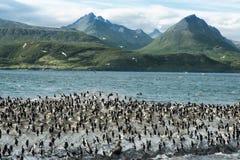 Kolonie von König Cormorants On Ilha Dos Passaros Located auf dem Spürhund-Kanal, Tierra Del Fuego stockfotografie