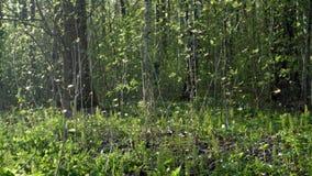 Kolonie von Moskitos, Schwarm von Zuckmücken mit Hintergrundbeleuchtung im Vorfrühling im Park stock video