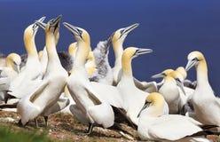 Kolonie von Nordbasstölpeln, Bonaventure Island, Kanada lizenzfreies stockfoto