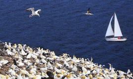 Kolonie von Nordbasstölpeln und von Yachtsegeln nahe Bonaventure Island in Quebec lizenzfreie stockbilder
