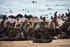 Kolonie von Pelzdichtungen in Namibia stockfotografie