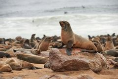 Kolonie von Pelzdichtungen in Namibia stockbilder