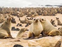 Kolonie von Pelzdichtungen in Namibia lizenzfreie stockfotografie