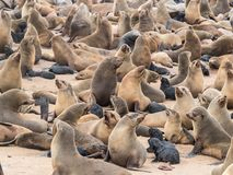 Kolonie von Pelzdichtungen in Namibia lizenzfreie stockbilder