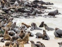 Kolonie von Pelzdichtungen in Namibia stockbild