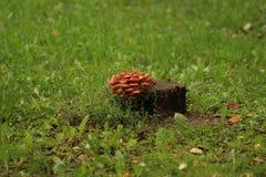 Kolonie von Pilzen auf einem Stumpf Stockfotos