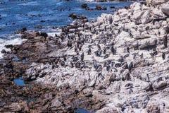 Kolonie von Pinguinen auf Boulders Strand nahe Simons-Stadt lizenzfreie stockfotos