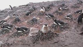 Kolonie von Pinguinen Gentu auf der antarktischen Insel stock video