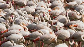 Kolonie von rosa Flamingos auf dem See stockfotos