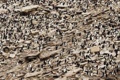Kolonie von südlichen Rockhopper-Pinguinen von oben lizenzfreie stockfotos