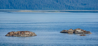 Kolonie von Stellerscher Seelöwen aalen sich in der Sonne Lizenzfreies Stockbild