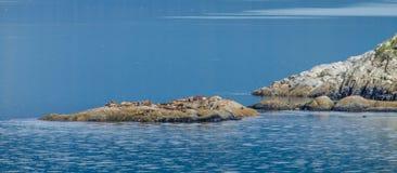 Kolonie von Stellerscher Seelöwen aalen sich in der Sonne Stockfotos