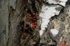 Kolonie von Wanzen auf Birkenrinde es gibt ein kleines Universum Stockbilder