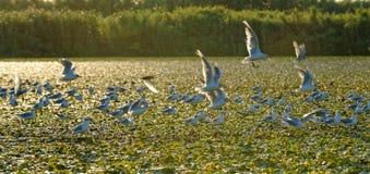 Kolonie von Zwergmöwen auf Donau-Delta stockfotografie