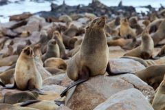 Kolonien Südafrikanischer Seebär, Kapkundenberaterinnen, Namibia Stockbild