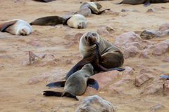 Kolonien Südafrikanischer Seebär, Kapkundenberaterinnen, Namibia Lizenzfreie Stockfotos