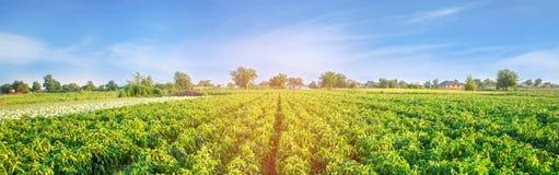 Kolonier av peppar växer i fältet grönsakrader Lantbruk jordbruk Landskap med jordbruks- land kantjusteringar baner royaltyfri foto