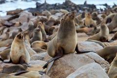 Kolonier bryner pälsskyddsremsan, uddecros, Namibia Fotografering för Bildbyråer