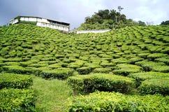 Kolonier för grönt te Cameron Highlands i Malaysia arkivbild