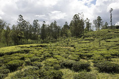 Kolonier för grönt te Ella Sri Lanka Royaltyfri Fotografi