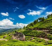 Kolonier för grönt te i Munnar, Kerala, Indien arkivbild