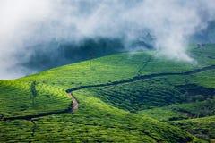 Kolonier för grönt te i Munnar, Kerala, Indien arkivbilder